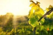 Ce fonduri europene sunt disponibile pentru plantația de viță-de-vie